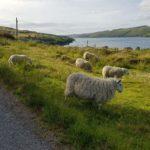 Ovce skotsko